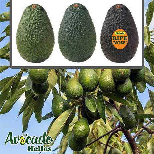 ΑΒΟΚΑΝΤΟ: Καλλιέργεια- Φύτευση-παραγωγή καρποί - φρούτα αβοκάντο Ελλαδα, Κρήτη, Χανιά Ρεθυμνο Ηρακλειο Λασίθι