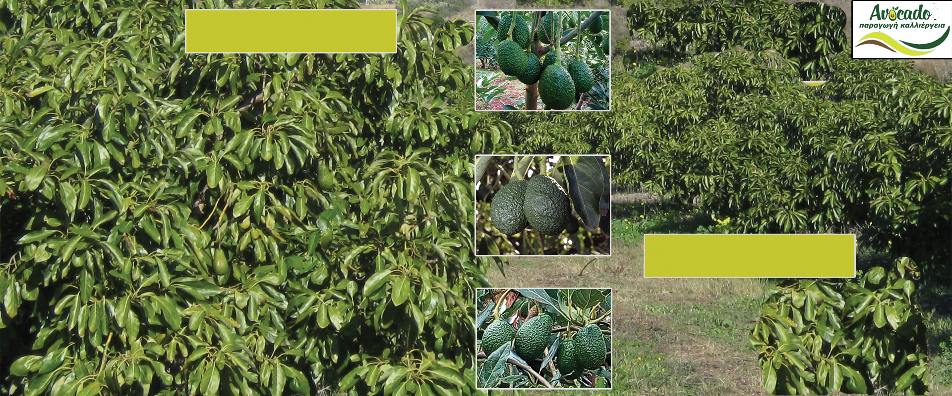 Αβοκάντο, Αρχική σελίδα, Avocado-Crete